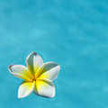 Frangipani flower on the blue water concept for tropical vacation relax and spa Royalty Free Stock Photography