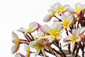 Frangipani flower close up of or leelawadee Royalty Free Stock Photo