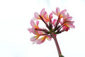 Frangipani flower the close up of pink scientific name plumeria rubra Stock Photo