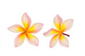 Frangipani flower isolated on the white background Royalty Free Stock Images