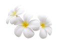 Frangipani flower isolated white background Royalty Free Stock Photo