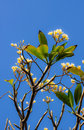Frangipani flower or leelawadee flower thailand Stock Images