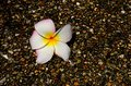 Frangipani flower on pebble path plumeria common name is a genus of flowering plants in the dogbane family apocynaceae it contains Stock Photos