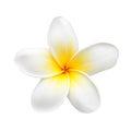 Frangipani Flower or Plumeria Isolated on White Royalty Free Stock Photo