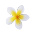 Frangipani flower plumeria spa isolated on white Royalty Free Stock Image