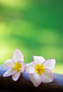 Frangipani flowers Royalty Free Stock Photography