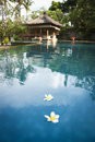 Frangipani flowers bali spa pool white flaoting on the surface of resort in ubud indonesia Royalty Free Stock Image