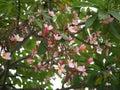Frangipani flowers blooming. Pink Frangipani, Plumeria, Temple Tree, Graveyard Tree Royalty Free Stock Photo
