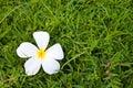 Frangipani flowers on green grass Stock Photos