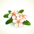 Frangipani flowers isolated on white vector illustration eps editable Stock Photos