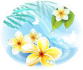 Frangipani flowers on the water Royalty Free Stock Photography