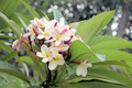 Frangipani flowers are yellowish white on tree the picture focus Stock Photography