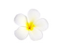 Frangipani or Plumeria Flower Isolated on White Background Royalty Free Stock Photo