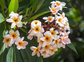 Frangipani Plumeria flowers border Design Royalty Free Stock Photo