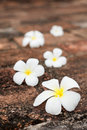 Frangipani (plumeria) flowers on stones Stock Photography