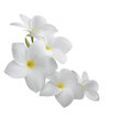 Frangipani (plumeria) isolated on white Stock Photography