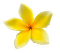 Frangipani plumeria isolated on white backgro tropical flowers background Royalty Free Stock Image