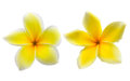 Frangipani plumeria isolated on white backgro tropical flowers background Stock Images