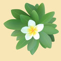 Frangipani plumeria with leaves vector and illustration of Stock Photo