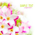 Frangipani plumeria pink hawaii flower spa border background Stock Photo