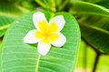 Frangipani plumeria templetree on leaf background Stock Image