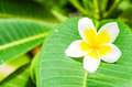 Frangipani plumeria templetree on leaf background Royalty Free Stock Photography