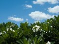 Frangipani plumeria templetree tree and blue sky background Stock Photos