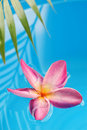 Frangipani in the pool Royalty Free Stock Photo