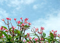 Frangipani tree tropical flowers plumeria blossom nature background Royalty Free Stock Photos