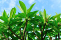 Frangipani tree under blue sky with flowers Royalty Free Stock Photography