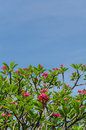 Frangipani trees with bule sky Royalty Free Stock Images