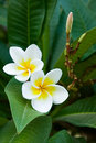 Frangipani tropical flowers Stock Photography