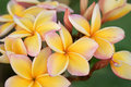 Frangipani in a tropical garden Royalty Free Stock Photos