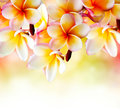 Frangipani Tropical Spa Flower Stock Photography