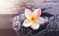 Frangipani on waterfall rock in dreamy feeling Royalty Free Stock Photo