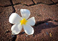 Frangipani a white fresh on sidewalk in the park Stock Photos