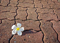 Frangipani a white fresh on sidewalk in the park Stock Photography