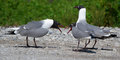 Franklin gull larus pipixcan two s gulls squabble as another looks on Stock Photo