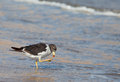 Franklin's Gull at shore Royalty Free Stock Images