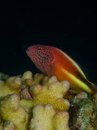 Freckled hawkfish macro portrait of a sitting on hard coral margin with black background Stock Photos