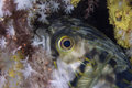 Freckled porcupinefish juvenile hiding in between soft corals Royalty Free Stock Images