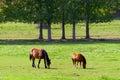 Free-grazing horses on green field. Stock Photos