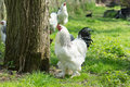 Free range Brahma chickens, hens and roosters, in a garden Royalty Free Stock Photo