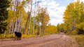Free range cattle inside of aspen forest colorado Stock Photography