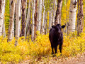 Free range cattle inside of aspen forest colorado Stock Photo