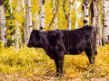 Free range cattle inside of aspen forest colorado Royalty Free Stock Image