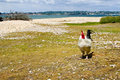 Free range chicken on the beach Royalty Free Stock Photography