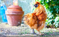 Free range chicken golden garden Royalty Free Stock Photography