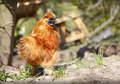 Free range chicken golden garden Royalty Free Stock Image