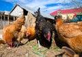 Free range chickens Royalty Free Stock Photo